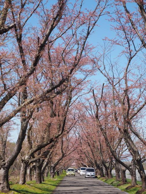 戸田記念墓地公園の桜(桜花の道)3~5分咲き