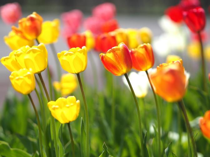 戸田講堂前の花壇のチューリップ