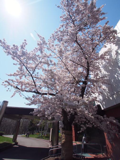 戸田講堂前の一本桜
