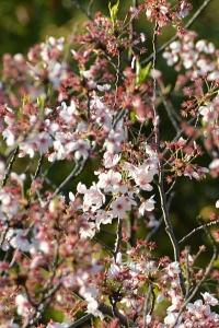 Late Sakura Blossom
