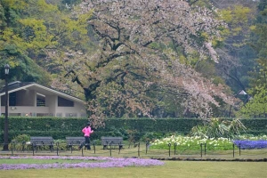Sakura tree fading blossoms