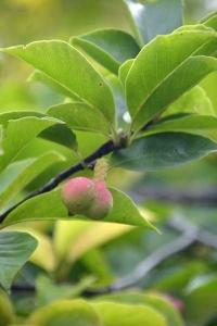 Magnolia Kobushi seed pod