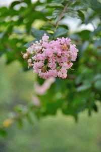 Light Pink Crape Myrtle