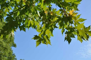 Platanus Leaves