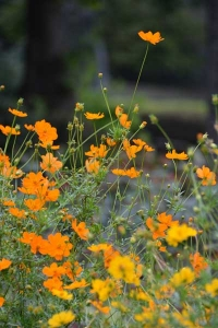 Yellow/Orange Cosmos