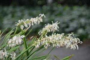 Noshiran / Ophiopogon jaburan