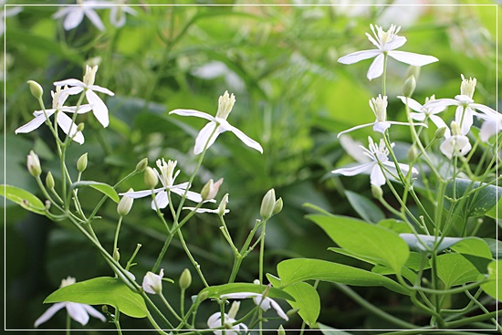 センニン草