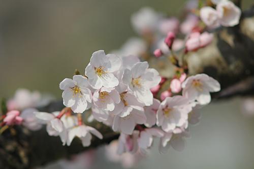 桜、好きだよねーーー