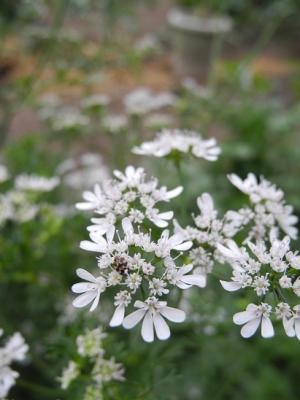 20160525パクチーの花