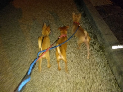 愛犬物語 犬の散歩 愛犬サンシンちゃん