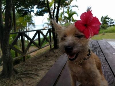 沖縄犬夢 愛犬サンシンちゃんの画像