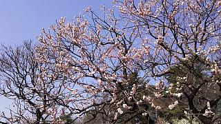20160228大倉山梅林祭(その13)
