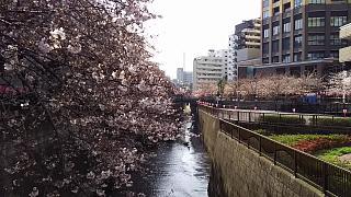 20130331目黒川(その1)