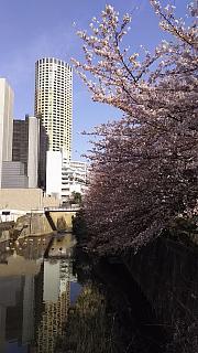 20130331目黒川(その15)