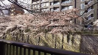 20130331目黒川(その31)