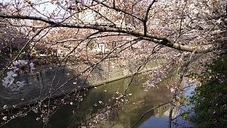 20130331目黒川(その62)