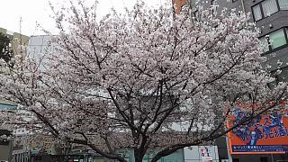 20160402桜(その1)