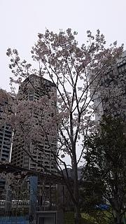 20160402桜(その6)