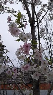 20160402桜(その8)