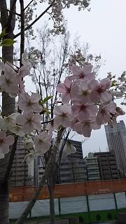 20160402桜(その9)