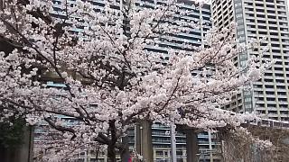 20160402桜(その11)