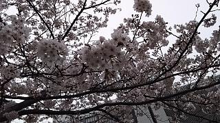 20160402桜(その13)