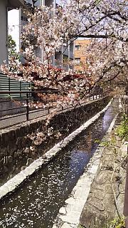 20160409桜(その3)