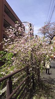 20160409桜(その6)