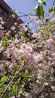 20160409桜(その7)