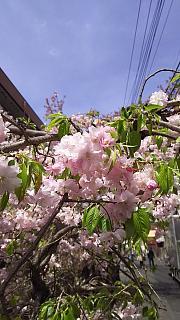 20160409桜(その8)