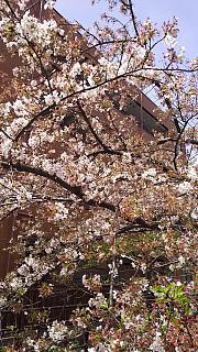 20160409桜(その9)