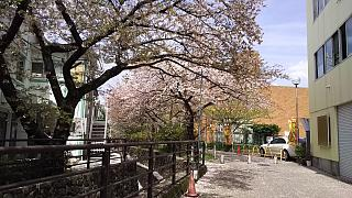 20160409桜(その12)