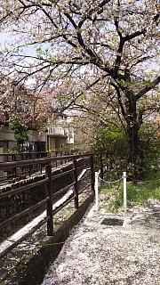 20160409桜(その13)