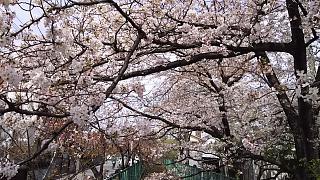 20160409桜(その15)