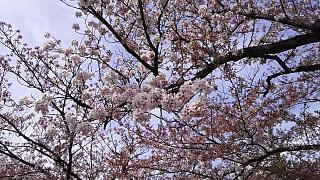 20160409桜(その16)
