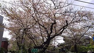 20160409桜(その17)