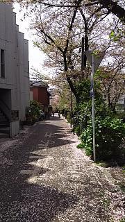 20160409桜(その19)