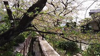 20160409桜(その20)