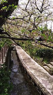 20160409桜(その21)