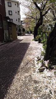 20160409桜(その23)