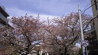 20160409桜(その27)