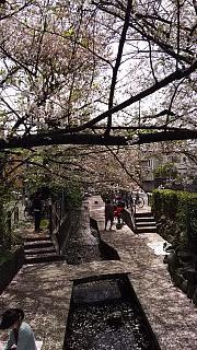 20160409桜(その28)