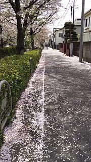 20160409桜(その31)
