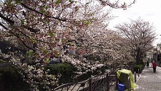 20160409桜(その32)