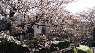 20160409桜(その33)