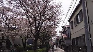 20160409桜(その35)