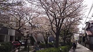 20160409桜(その37)