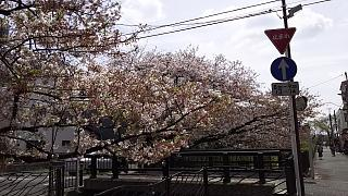 20160409桜(その39)