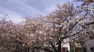 20160409桜(その40)