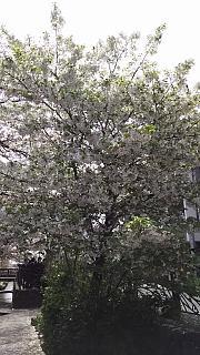 20160409桜(その43)